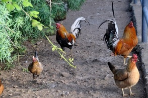 hühner3